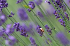 A golden color insect on violet lavender flower royalty free stock image