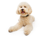 Golden color Labradoodle Dog Stock Image