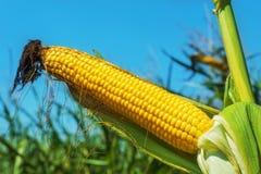 Golden color maize on stem Stock Images