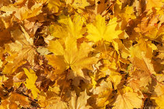 Golden color maple leaves as background Stock Photos