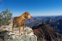 Golden color pointer dog standing on the edge of Grand Canyon No Royalty Free Stock Photos