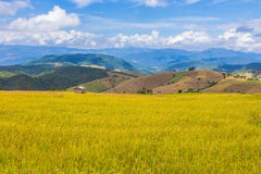 Golden color Stepped rice filed in Chiang Mai, northern Thailand. Ready for harvest, distant mountains and clear blue sky with white fluffy clouds Royalty Free Stock Photos