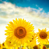 Golden color sunflower on field Stock Photography
