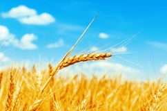 Golden color wheat ear on field Royalty Free Stock Image