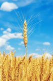 Golden color wheat ear Royalty Free Stock Images