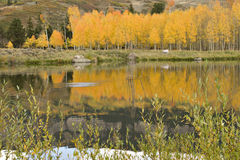 Golden Colorado Aspens Reflected Stock Photography