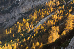 Golden-colored autumn forest. Golden-colored autumn Slovenian mountain larch forest. High angle view Royalty Free Stock Photo