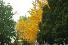 Golden colored autumn tree Stock Photo