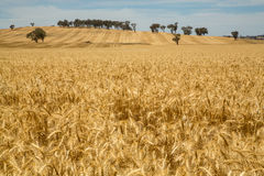 Golden colored crop field Royalty Free Stock Photo