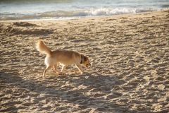 A golden-colored dog walks along the beach at sunset. A medium-sized dog of gold color walks along the beach at sunset royalty free stock photos