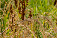 Golden colored dragonfly on stalk of winter wheat Stock Photos