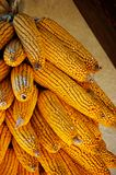 Golden colored dry ecological Corn harvest Royalty Free Stock Images