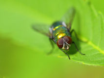 Golden colored fly on leaf closeup view  Royalty Free Stock Photos