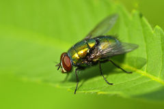 Golden Colored Fly On Leaf Closeup View Stock Photography