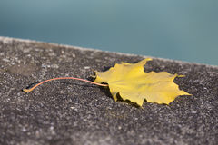Golden Colored Leaf Royalty Free Stock Images