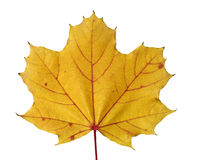 Golden colored maple leaf in fall Royalty Free Stock Photography