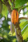 Ripe Cocoa hanging from a tree in Costa Rica. Golden colored ripe cocoa pod hanging from a tree in Costa Rica Stock Images