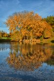 Golden autumn tree water reflection Royalty Free Stock Images