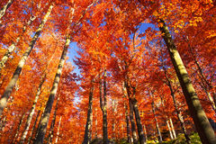 Golden colors of autumn Royalty Free Stock Photo