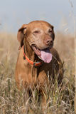 Golden colour hungarian vizsla standing in tall grass Stock Image