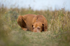 Golden colour hunting dog laying calm in the grass Stock Image