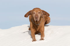 Golden colour pointer laying in white sands desert Stock Images