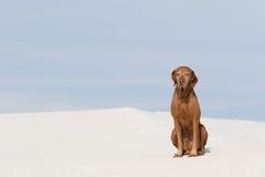 Golden colour pointer sitting in white sands desert Royalty Free Stock Photo