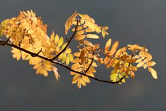 Colored autumn leaves, rowan-berry tree Royalty Free Stock Photo