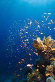 Golden coloured school and coral reef Stock Images