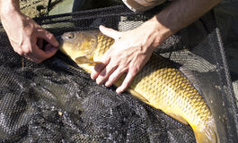 Golden common carp. Removing the hook from the mouth of a large golden common carp in a landing net vector illustration