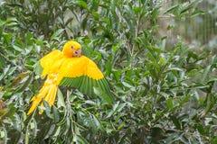 Golden conure parrot (Guaruba guarouba) at the Parque das Aves. In Iguazu, beautiful nature of Brazil Royalty Free Stock Photo