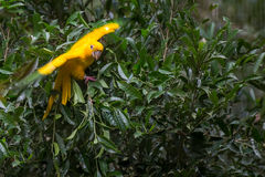 Golden conure parrot (Guaruba guarouba) at the Parque das Aves Stock Images