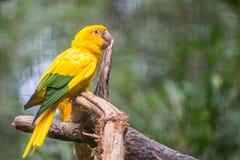 Golden conure parrot (Guaruba guarouba) at the Parque das Aves Stock Image