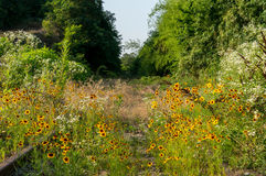 Golden Coreopsis in an abandoned railway Stock Photography