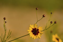 Golden Coreopsis tinctoria Wildflowers and Buds. These are gold and burgundy Coreopsis tinctoria wildflowers that were growing in Morgan County Alabama USA stock images