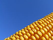 Golden Corn Royalty Free Stock Photos
