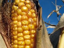 Golden corn and the blue sky. Closeup of a corn cob in the cornfield royalty free stock images