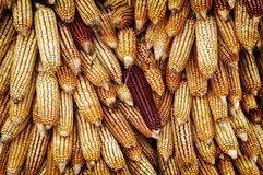 Golden corn cobs Stock Image