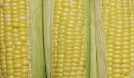 Golden Corn Cobs. Royalty Free Stock Image