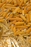 Golden corn cobs drying in sun Royalty Free Stock Photography