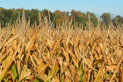 Golden Corn. Field ready for harvest Royalty Free Stock Image