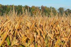 Golden Corn Royalty Free Stock Image