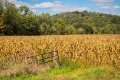 Golden Corn Crops and Geen Trees. Corn crops ready for harvest among the green trees of Iowa royalty free stock photography
