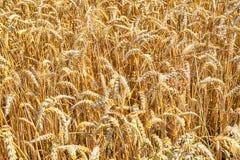 golden corn field Stock Photos