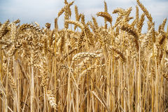 golden corn field Royalty Free Stock Images