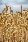golden corn field Stock Photo