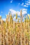 golden corn field Royalty Free Stock Photo