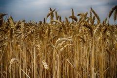 golden corn field Stock Images