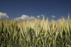 Golden corn field with blue sky. And clouds Stock Photo
