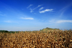 Golden corn field and a blue sky Stock Photos